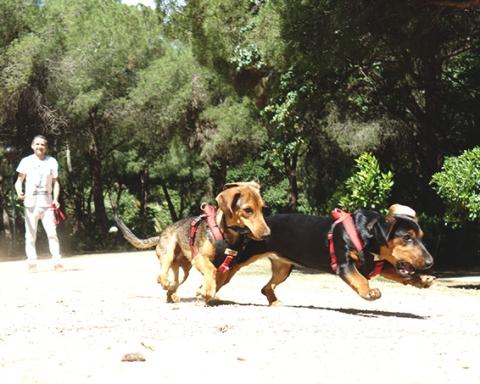 Gossos corren rere una pilota al Parc de la Pegaso / DGM